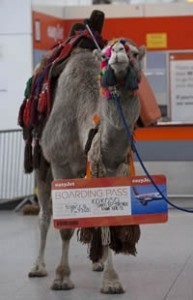 Don't follow that camel: Iceland-bound air passengers greeted by ship of the desert