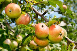 West cider apple growers urged to enter awards as industry presses ahead with growth