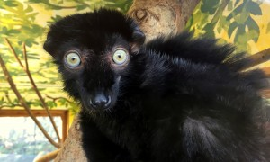 Bath firms work with Bristol Zoo to protect Madagascar's endangered wildlife